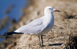Audouin's Gull Larus audouinii is a welcome and ve...